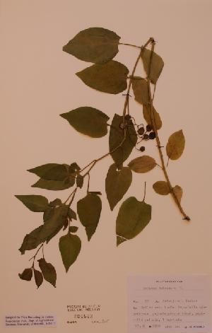 (Solanum dulcamara - H806582)  @11 [ ] Unspecified (default): All Rights Reserved  Unspecified Unspecified