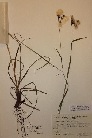 (Eriophorum latifolium - H807936)  @11 [ ] Unspecified (default): All Rights Reserved  Unspecified Unspecified