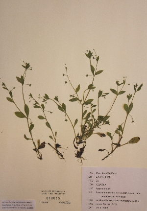 (Myosotis sparsiflora - H810616)  @11 [ ] Unspecified (default): All Rights Reserved  Unspecified Unspecified