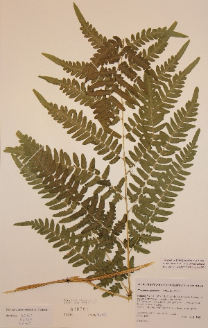 (Pteridium aquilinum subsp aquilinum - H810764)  @11 [ ] Unspecified (default): All Rights Reserved  Unspecified Unspecified