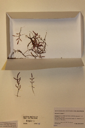 (Salicornia europaea - H810813)  @11 [ ] Unspecified (default): All Rights Reserved  Unspecified Unspecified