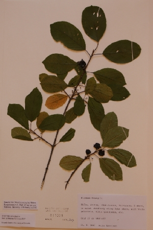 (Rhamnus frangula - H811029)  @11 [ ] Unspecified (default): All Rights Reserved  Unspecified Unspecified