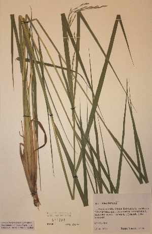 (Poaceae - H811205)  @11 [ ] Unspecified (default): All Rights Reserved  Unspecified Unspecified