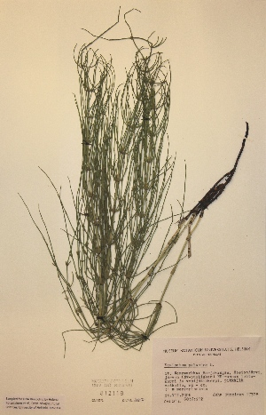(Equisetum palustre - H812119)  @11 [ ] Unspecified (default): All Rights Reserved  Unspecified Unspecified