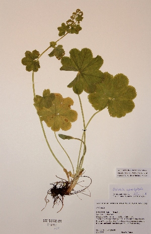(Alchemilla cymatophylla - H816196)  @11 [ ] Unspecified (default): All Rights Reserved  Unspecified Unspecified