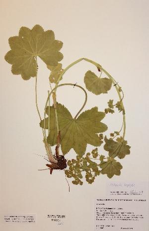 (Alchemilla leiophylla - H816197)  @11 [ ] Unspecified (default): All Rights Reserved  Unspecified Unspecified