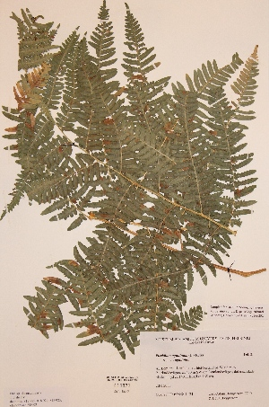 (Pteridium aquilinum subsp aquilinum - H818922)  @11 [ ] Unspecified (default): All Rights Reserved  Unspecified Unspecified