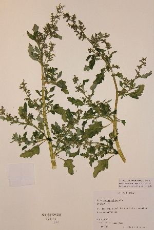 (Chenopodium glaucum - H820234)  @11 [ ] Unspecified (default): All Rights Reserved  Unspecified Unspecified