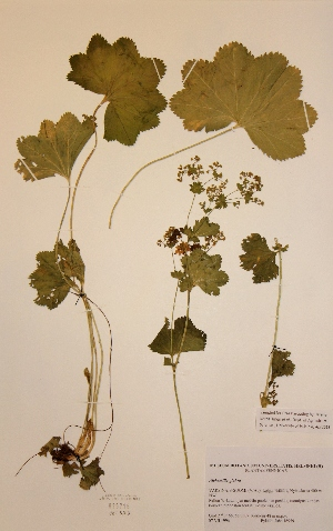 (Alchemilla glabra - H825716)  @11 [ ] Unspecified (default): All Rights Reserved  Unspecified Unspecified