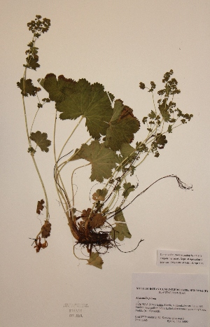 (Alchemilla plicata - H826516)  @11 [ ] Unspecified (default): All Rights Reserved  Unspecified Unspecified