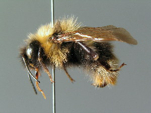 (Bombus quadricolor - BC ZSM HYM 02959)  @16 [ ] CreativeCommons - Attribution Non-Commercial Share-Alike (2010) Stefan Schmidt SNSB, Zoologische Staatssammlung Muenchen