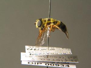 ( - BC ZSM DIP 00934)  @13 [ ] CreativeCommons - Attribution Non-Commercial Share-Alike (2010) Stefan Schmidt SNSB, Zoologische Staatssammlung Muenchen