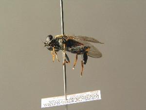 ( - BC ZSM DIP 01202)  @13 [ ] CreativeCommons - Attribution Non-Commercial Share-Alike (2010) Stefan Schmidt SNSB, Zoologische Staatssammlung Muenchen