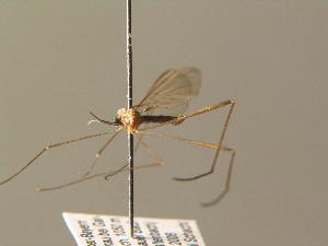 (Blephariceridae - BC ZSM DIP 01229)  @13 [ ] CreativeCommons - Attribution Non-Commercial Share-Alike (2010) Stefan Schmidt SNSB, Zoologische Staatssammlung Muenchen