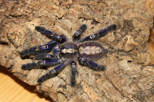 (Poecilotheria metallica - GBOL03692)  @15 [ ] Unspecified (default): All Rights Reserved  Unspecified Unspecified