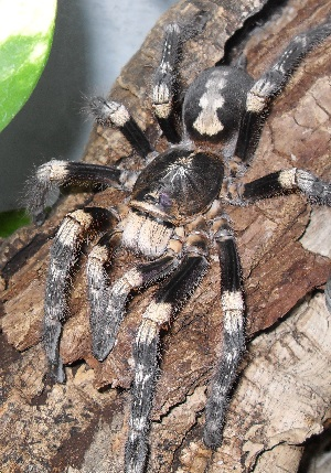 (Poecilotheria bara - GBOL03699)  @11 [ ] Unspecified (default): All Rights Reserved  Unspecified Unspecified