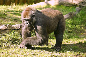 (Gorilla - GBOL13263)  @11 [ ] CreativeCommons - Attribution Non-Commercial Share-Alike (2015) SNSB, Zoologische Staatssammlung Muenchen SNSB, Zoologische Staatssammlung Muenchen
