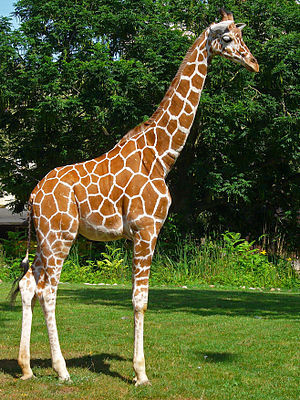 (Giraffa camelopardalis reticulata - GBOL13304)  @11 [ ] Unspecified (default): All Rights Reserved  Unspecified Unspecified