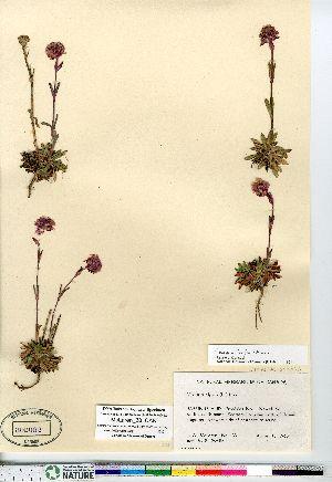 (Viscaria - McLaren_38_CAN)  @11 [ ] Copyright (2011) Canadian Museum of Nature Canadian Museum of Nature
