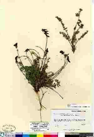 (Oxytropis deflexa ssp foliolosa - Welsh_12342_CAN)  @11 [ ] Copyright (2011) Canadian Museum of Nature Canadian Museum of Nature