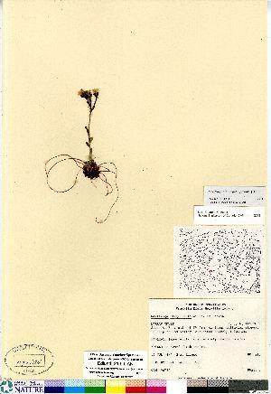 (Saxifraga flagellaris ssp platysepala - Edlund_213_CAN)  @11 [ ] Copyright (2011) Canadian Museum of Nature Canadian Museum of Nature