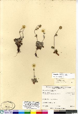 (Potentilla vahliana - Ironside_sn_CAN499385)  @11 [ ] Copyright (2011) Canadian Museum of Nature Canadian Museum of Nature