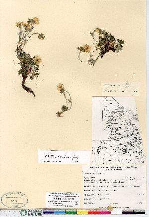 (Potentilla subgorodkovii - Edlund_175_CAN)  @11 [ ] Copyright (2011) Canadian Museum of Nature Canadian Museum of Nature