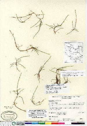 (Equisetum arvense ssp alpestre - Edlund_12863_CAN)  @11 [ ] Copyright (2011) Canadian Museum of Nature Canadian Museum of Nature