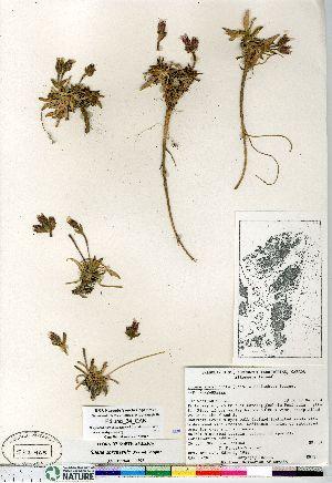 (Silene sorensenis - Edlund_34_CAN)  @11 [ ] Copyright (2011) Canadian Museum of Nature Canadian Museum of Nature