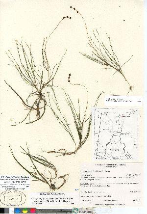 (Stuckenia filiformis ssp alpinus - Aiken_88-316_CAN)  @11 [ ] Copyright (2011) Canadian Museum of Nature Canadian Museum of Nature