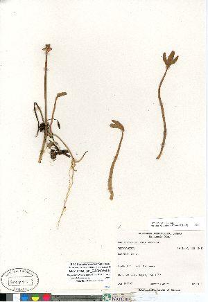 (Coptidium - MacInnes_sn_CAN535497)  @11 [ ] Copyright (2011) Canadian Museum of Nature Canadian Museum of Nature