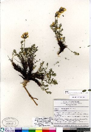 (Oxytropis maydelliana - Brunton_9786_CAN)  @11 [ ] Copyright (2011) Canadian Museum of Nature Canadian Museum of Nature