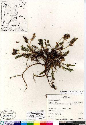 (Oxytropis viscida - Consaul_969A_CAN)  @11 [ ] Copyright (2011) Canadian Museum of Nature Canadian Museum of Nature