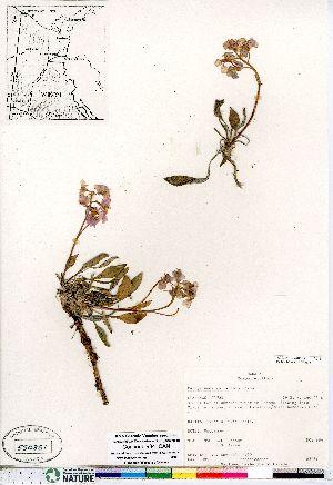 (Parrya - Consaul_984_CAN)  @11 [ ] Copyright (2011) Canadian Museum of Nature Canadian Museum of Nature