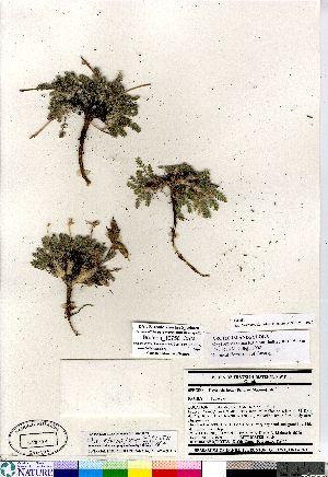 (Oxytropis bellii - Brunton_10756_CAN)  @11 [ ] Copyright (2011) Canadian Museum of Nature Canadian Museum of Nature