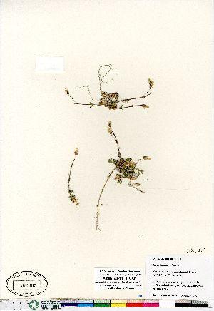 (Cerastium alpinum - Aiken_98-141a_CAN)  @11 [ ] Copyright (2011) Canadian Museum of Nature Canadian Museum of Nature