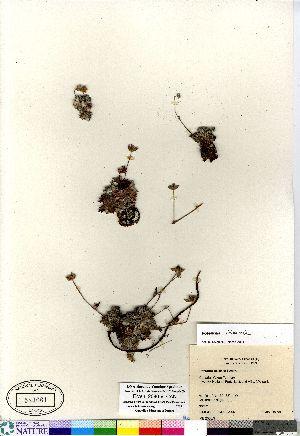 (Potentilla vulcanicola - Elven_2080-9_CAN)  @11 [ ] Copyright (2011) Canadian Museum of Nature Canadian Museum of Nature