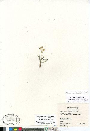 (Bupleurum - Elven_2158-9_CAN)  @11 [ ] Copyright (2011) Canadian Museum of Nature Canadian Museum of Nature