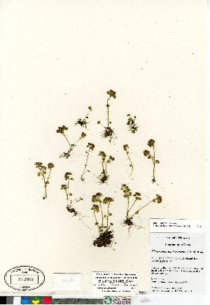 (Chrysosplenium - Brysting_01-065_CAN)  @11 [ ] Copyright (2011) Canadian Museum of Nature Canadian Museum of Nature