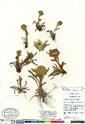 (Tephroseris - Brysting_01-090_CAN)  @11 [ ] Copyright (2011) Canadian Museum of Nature Canadian Museum of Nature