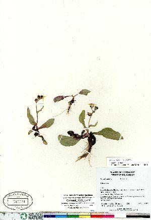 (Senecio lugens - Consaul_1225_CAN)  @11 [ ] Copyright (2011) Canadian Museum of Nature Canadian Museum of Nature