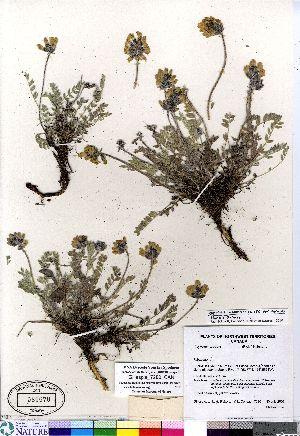 (Oxytropis varians - Gillespie_7280_CAN)  @11 [ ] Copyright (2011) Canadian Museum of Nature Canadian Museum of Nature