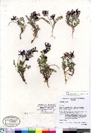 (Astragalus alpinus - Gillespie_7156_CAN)  @11 [ ] Copyright (2011) Canadian Museum of Nature Canadian Museum of Nature