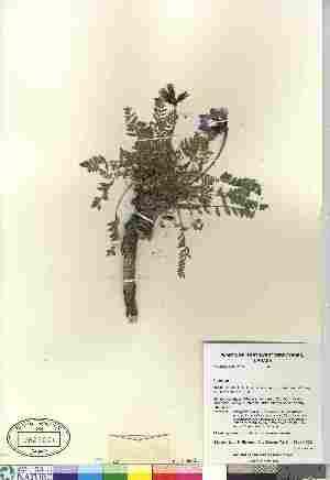 (Oxytropis borealis var borealis - Gillespie_7245)  @11 [ ] Copyright (2010) Canadian Museum of Nature Canadian Museum of Nature
