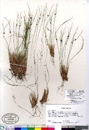 (Juncus trifidus - Aiken_04-214_CAN)  @11 [ ] Copyright (2011) Canadian Museum of Nature Canadian Museum of Nature
