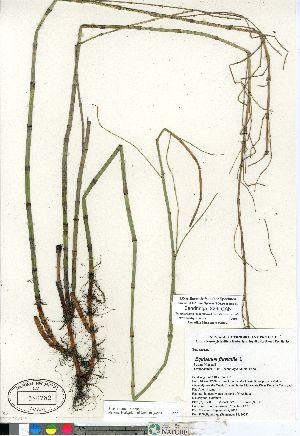 (Equisetum fluviatile - Bandringa_329_CAN)  @11 [ ] Copyright (2011) Canadian Museum of Nature Canadian Museum of Nature