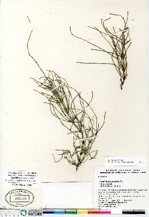 (Equisetum arvense ssp arvense - Bandringa_322_CAN)  @11 [ ] Copyright (2011) Canadian Museum of Nature Canadian Museum of Nature