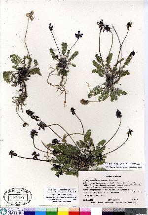 (Oxytropis deflexa - Aiken_05-004_CAN)  @11 [ ] Copyright (2011) Canadian Museum of Nature Canadian Museum of Nature