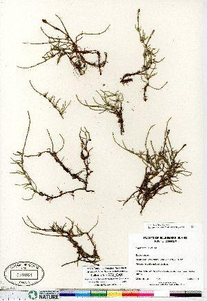 (Equisetum arvense ssp alpestre - Gillespie_4272_CAN)  @11 [ ] Copyright (2011) Canadian Museum of Nature Canadian Museum of Nature