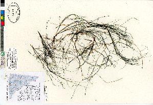 (Stuckenia filiformis ssp occidentalis - Bennett_06-363_CAN)  @11 [ ] Copyright (2011) Canadian Museum of Nature Canadian Museum of Nature